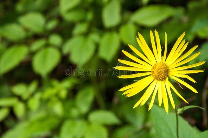 Λουλούδι κοινό Ragwort, jacobaea Senecio στοκ φωτογραφίες με δικαίωμα ελεύθερης χρήσης