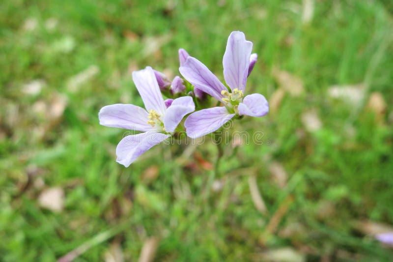 Λουλούδι κούκων ή γυναικείο Smock (Cardamine Pratensis) στοκ φωτογραφίες με δικαίωμα ελεύθερης χρήσης