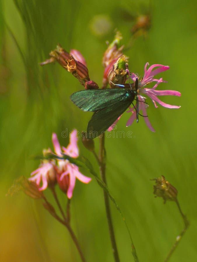 Λουλούδι κούκων και λεπτό σκωτσέζικο burnet στο λιβάδι στοκ φωτογραφία με δικαίωμα ελεύθερης χρήσης