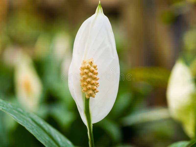 Λουλούδι κρίνων ειρήνης στο θερμοκήπιο στοκ εικόνες με δικαίωμα ελεύθερης χρήσης