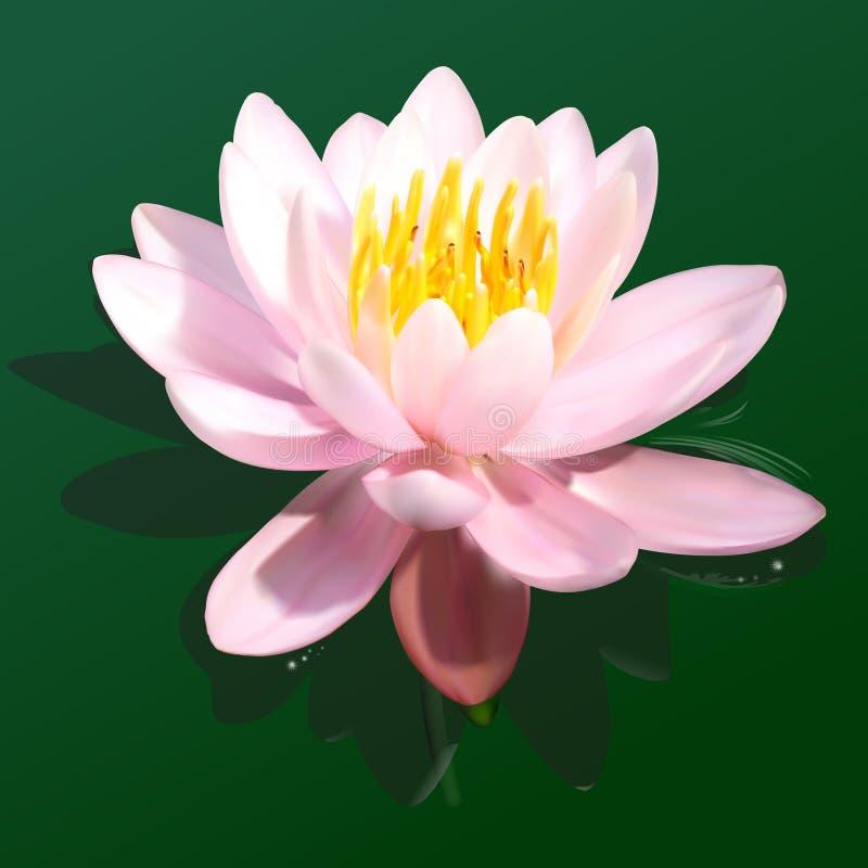 Λουλούδι κρίνων νερού διανυσματική απεικόνιση