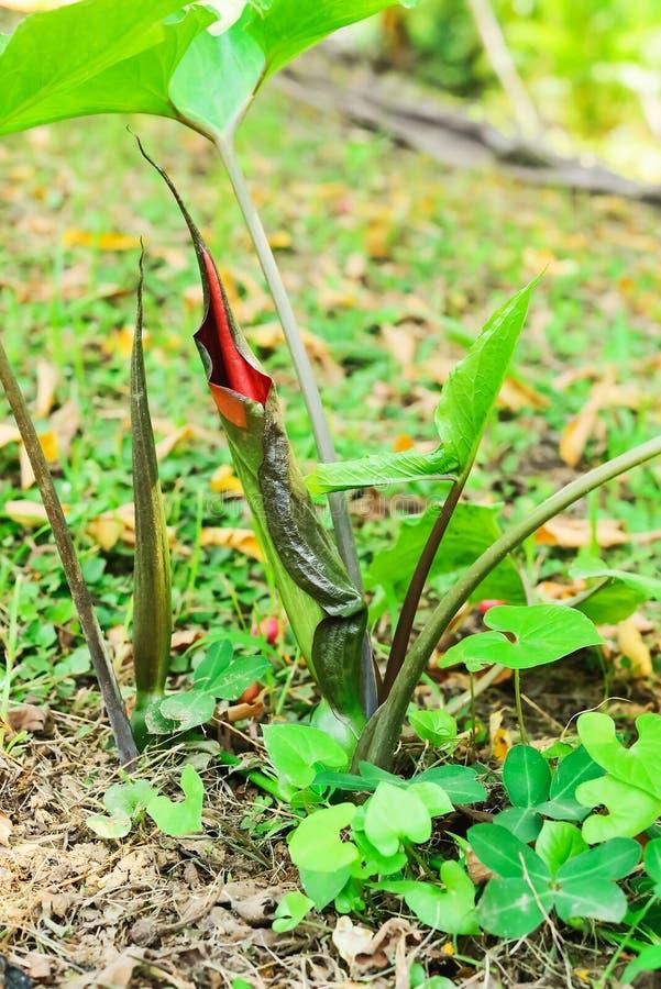 Λουλούδι κόκκινου φωτός στοκ εικόνα