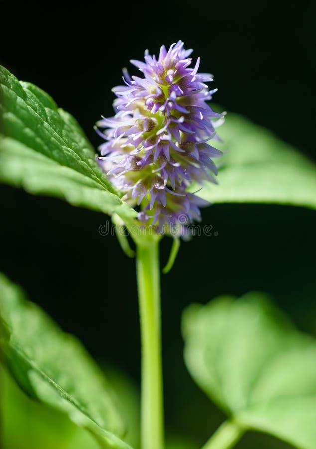 Λουλούδι μεντών στοκ φωτογραφία