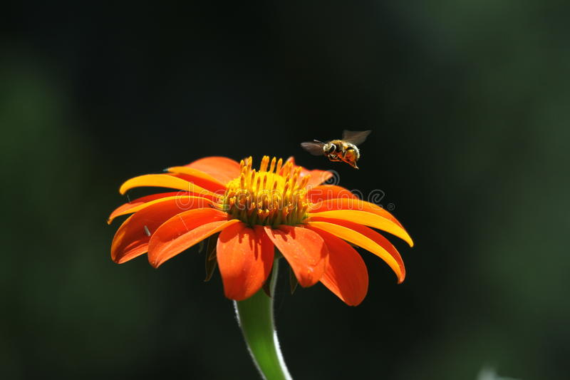 Λουλούδι με τη μέλισσα στοκ φωτογραφία