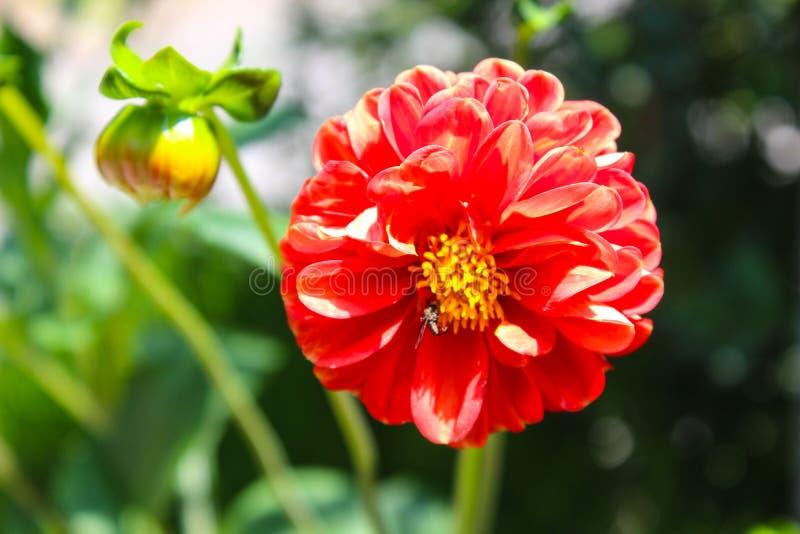 Λουλούδι με το επικονιάζοντας έντομο στοκ εικόνες