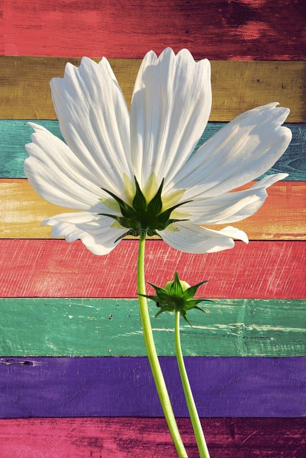 Λουλούδι μορίων στον ξύλινο τοίχο χρώματος καραμελών ελεύθερη απεικόνιση δικαιώματος