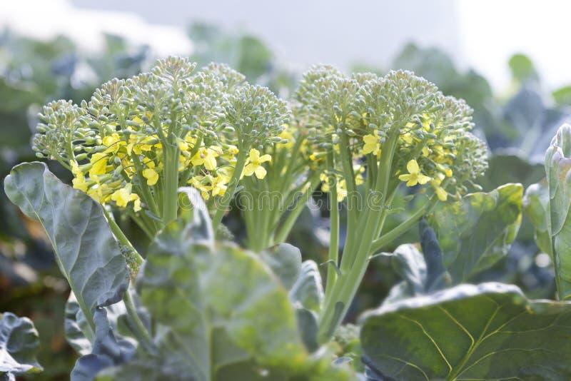 Λουλούδι μπρόκολου στοκ εικόνα με δικαίωμα ελεύθερης χρήσης