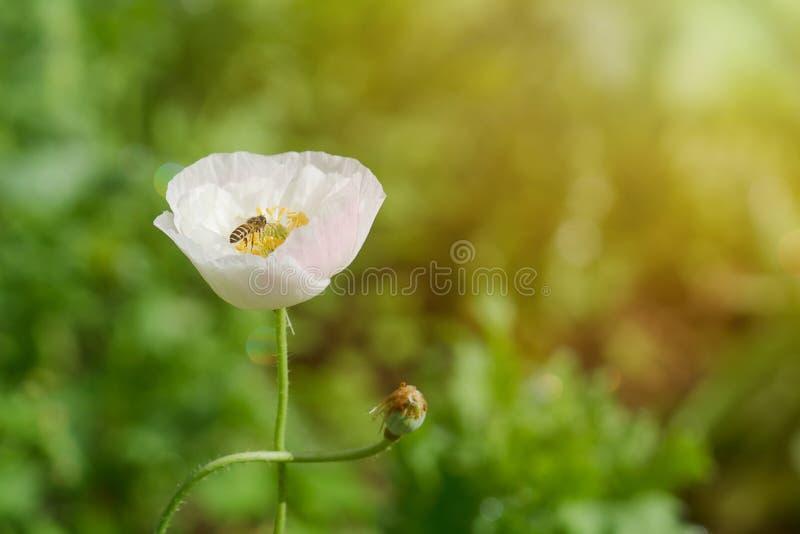 Λουλούδι παπαρουνών με μια επικονιάζοντας μέλισσα στοκ φωτογραφία