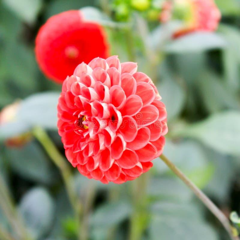 Λουλούδι 100 πετάλων στοκ φωτογραφίες με δικαίωμα ελεύθερης χρήσης