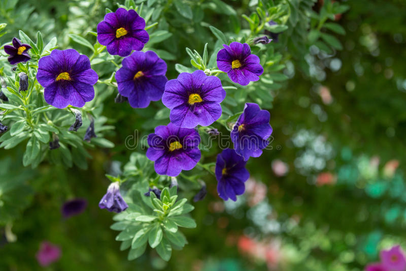 Λουλούδι πετουνιών στον κήπο, το υπόβαθρο φύσης ή την ταπετσαρία στοκ εικόνα με δικαίωμα ελεύθερης χρήσης