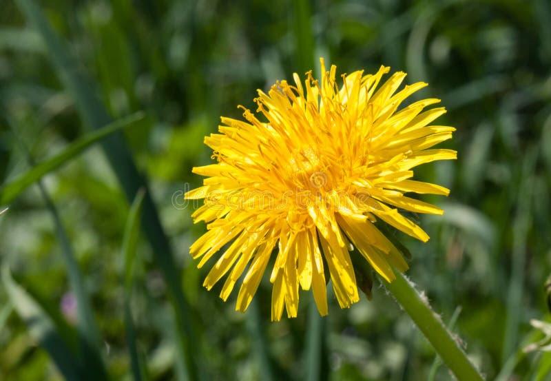 Λουλούδι πικραλίδων στοκ εικόνες με δικαίωμα ελεύθερης χρήσης