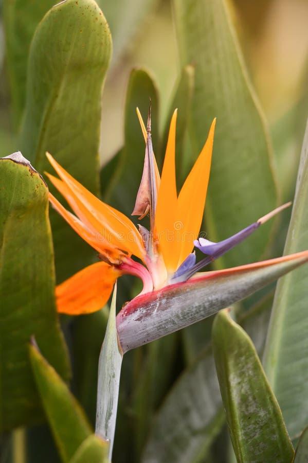 Λουλούδι πουλί--παραδείσου στοκ φωτογραφία