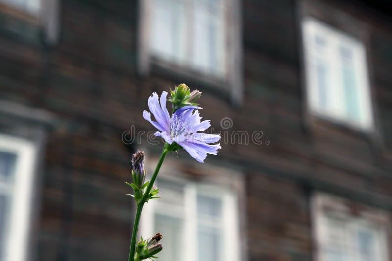Λουλούδι ραδικιού στοκ φωτογραφίες