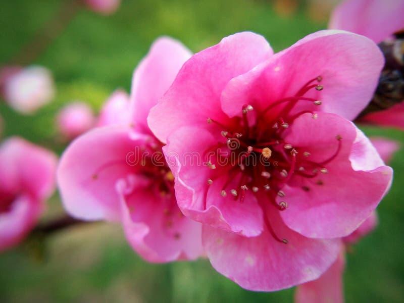 Λουλούδι ροδάκινων στοκ φωτογραφία με δικαίωμα ελεύθερης χρήσης