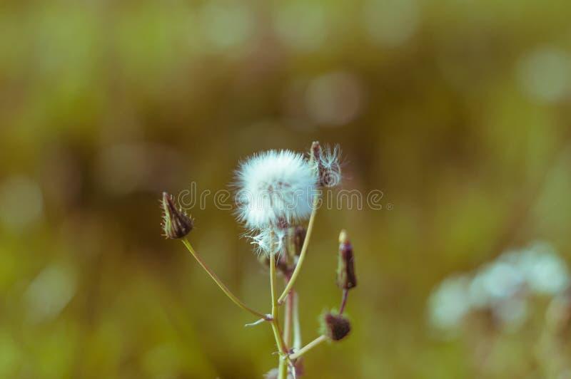 Λουλούδι ρολογιών πικραλίδων με έναν συμπαθητικό ήλιο στο υπόβαθρο στοκ φωτογραφία