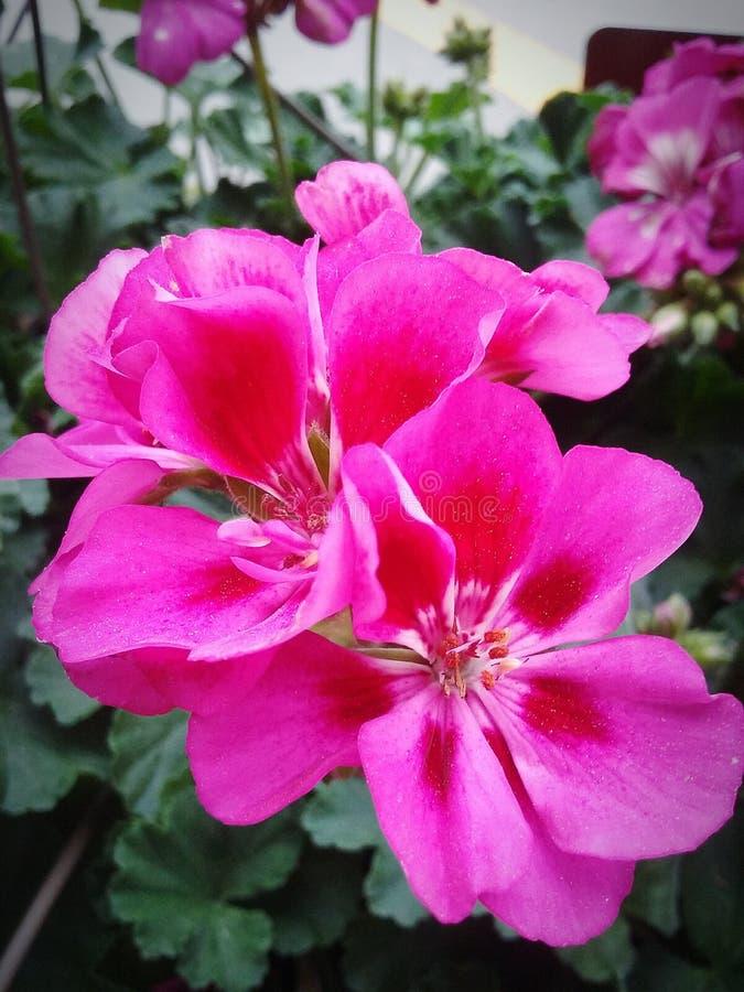 Λουλούδι στο Μπέρλινγκτον Ν Γ στοκ φωτογραφίες με δικαίωμα ελεύθερης χρήσης