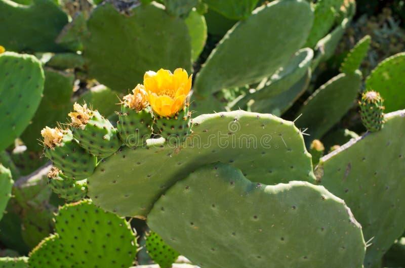 Λουλούδι στο τραχύ αχλάδι στοκ εικόνες