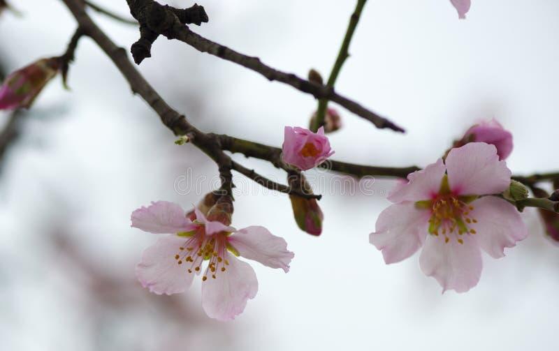 Λουλούδι της κινηματογράφησης σε πρώτο πλάνο αμυγδάλων στο θερινό χρόνο στοκ φωτογραφίες με δικαίωμα ελεύθερης χρήσης