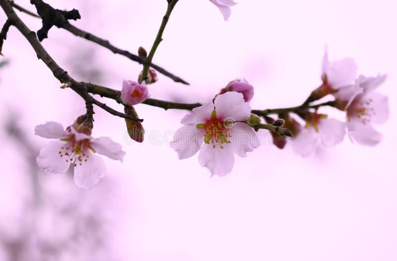Λουλούδι της κινηματογράφησης σε πρώτο πλάνο αμυγδάλων την άνοιξη στοκ εικόνες