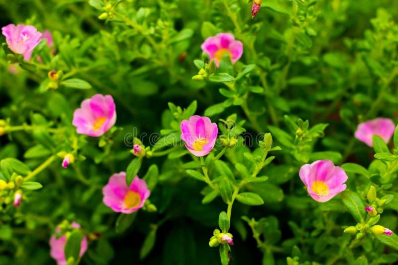 Λουλούδι της Ταϊλάνδης στοκ εικόνες