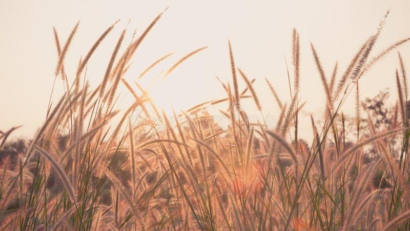 Λουλούδι της χλόης στο ηλιοβασίλεμα με το εκλεκτής ποιότητας φίλτρο στοκ φωτογραφίες