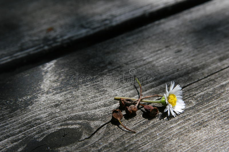 Λουλούδι της Daisy στο ξύλο στοκ φωτογραφίες
