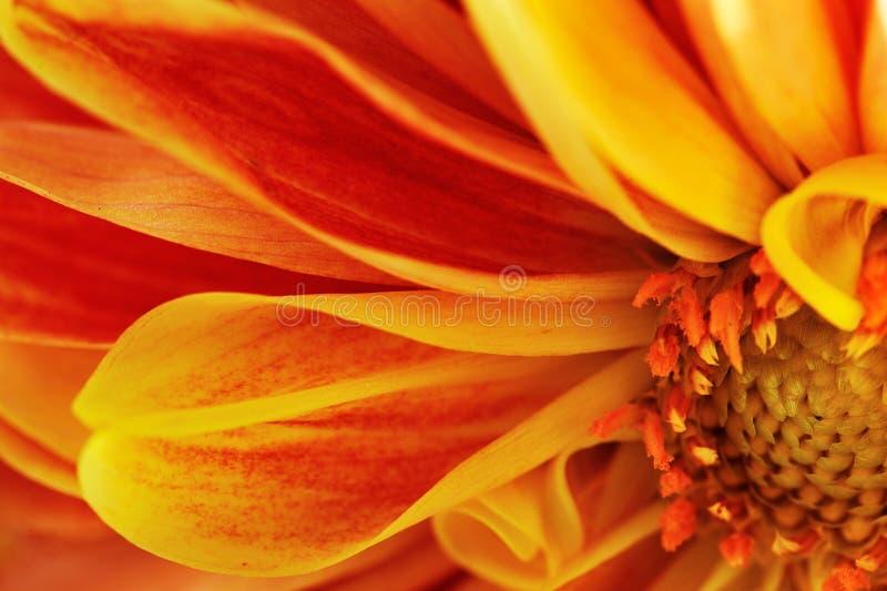 Λουλούδι της Georgina στοκ φωτογραφίες με δικαίωμα ελεύθερης χρήσης