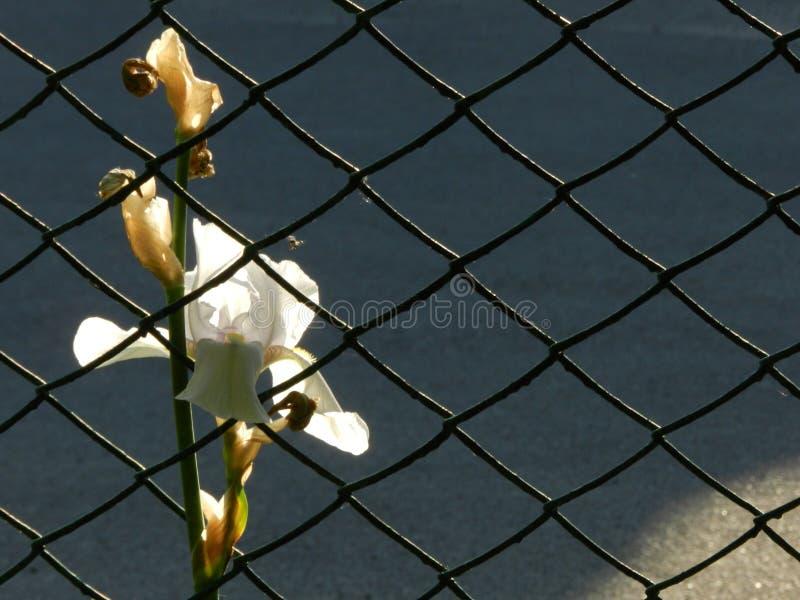 Λουλούδι της Iris στο πλέγμα στοκ φωτογραφία