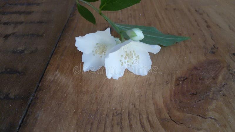 Λουλούδι της Jasmine στοκ φωτογραφία