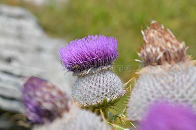 Λουλούδι του αγκαθιού στοκ εικόνες με δικαίωμα ελεύθερης χρήσης