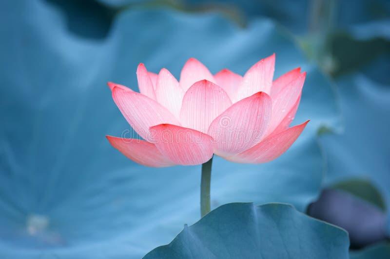 Λουλούδι του γοητευτικού λωτού στοκ φωτογραφίες με δικαίωμα ελεύθερης χρήσης