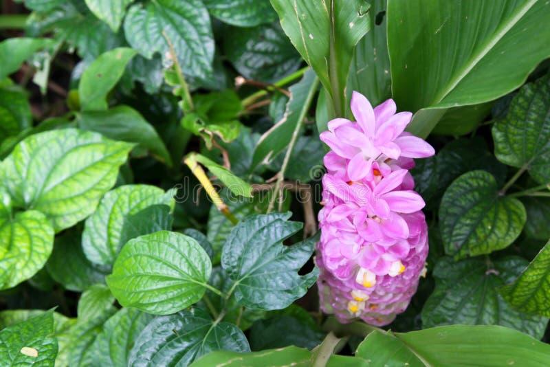 Λουλούδι τουλιπών του Σιάμ στοκ φωτογραφία με δικαίωμα ελεύθερης χρήσης