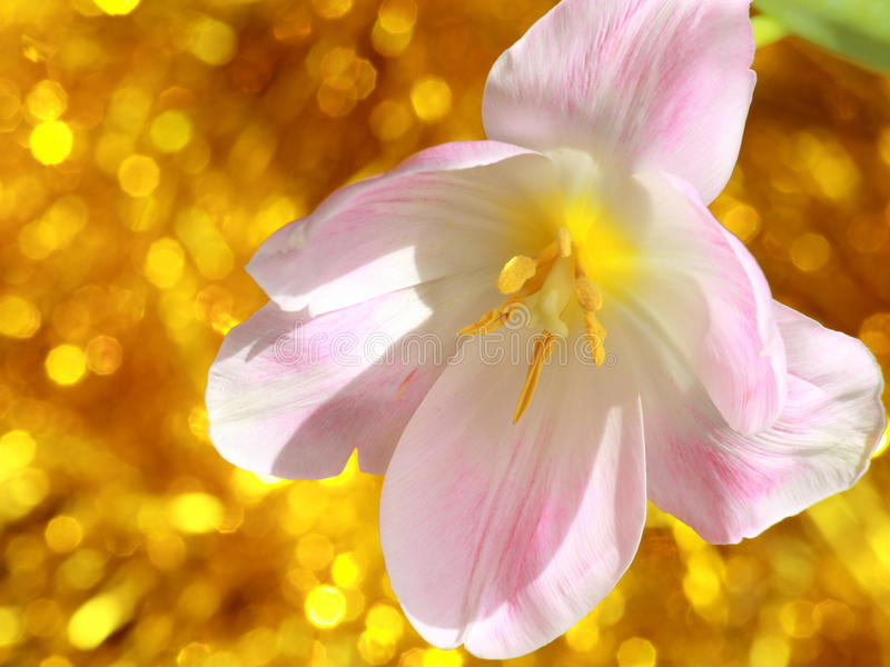 Λουλούδι τουλιπών: Φωτογραφίες αποθεμάτων ημέρας ή Πάσχας μητέρων στοκ εικόνες