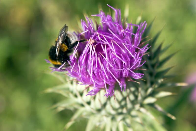 Λουλούδι του κάρδου γάλακτος με τη μέλισσα στοκ φωτογραφία