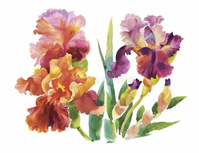 Λουλούδι του σχεδίου ίριδων από το watercolor, συρμένη χέρι διανυσματική απεικόνιση ελεύθερη απεικόνιση δικαιώματος