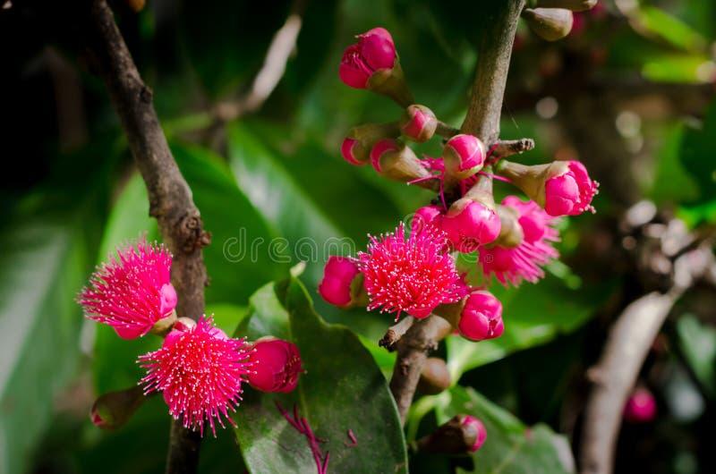 Λουλούδι του της Μαλαισίας μήλου στο δέντρο στοκ φωτογραφίες με δικαίωμα ελεύθερης χρήσης
