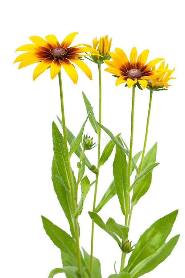 Λουλούδι του hirta Rudbeckia στοκ φωτογραφία με δικαίωμα ελεύθερης χρήσης
