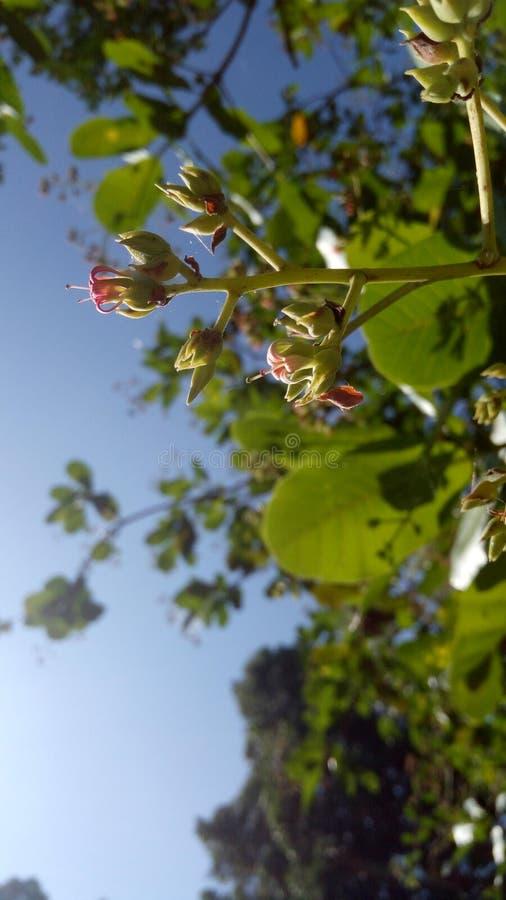 Λουλούδι των δυτικών ανακαρδίων στοκ φωτογραφίες με δικαίωμα ελεύθερης χρήσης