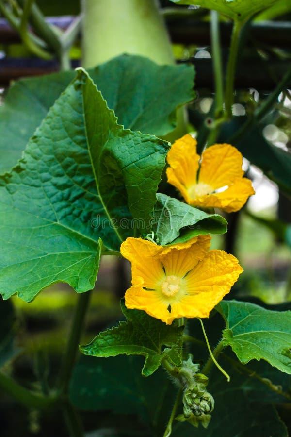 Λουλούδι των φρούτων χειμερινών πεπονιών με το φύλλο στοκ εικόνες