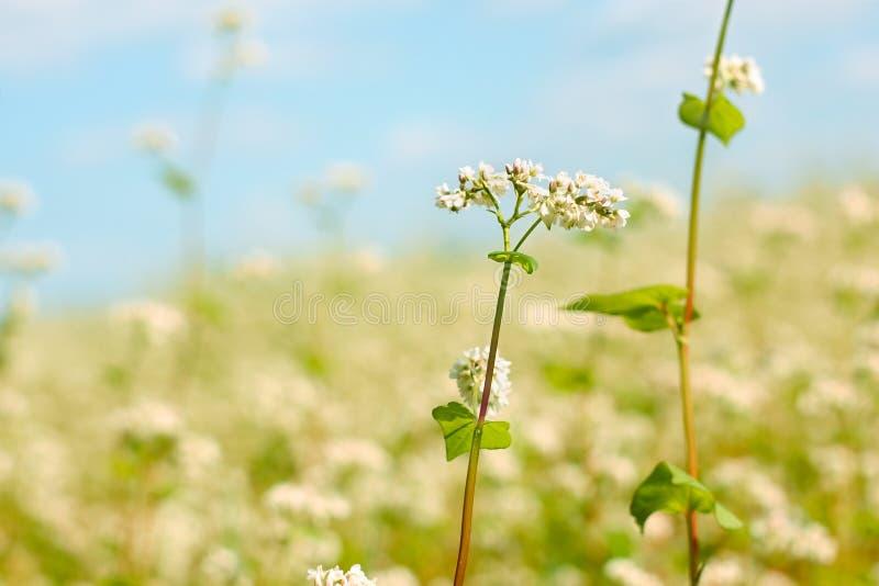 Λουλούδι φαγόπυρου επάνω από τον τομέα στοκ εικόνες