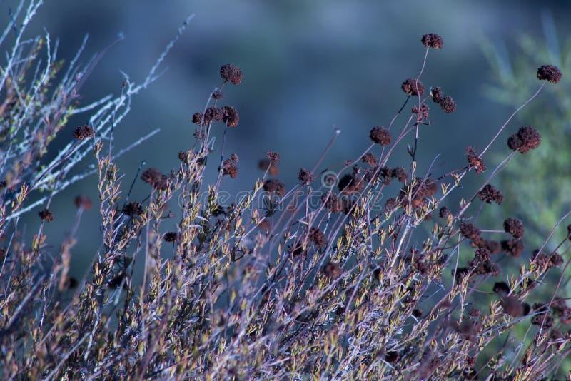 Λουλούδι φαγόπυρου Καλιφόρνιας που συγκεντρώνεται στοκ φωτογραφία