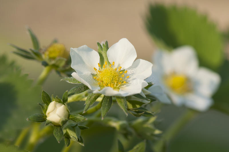 Λουλούδι φραουλών στοκ φωτογραφία