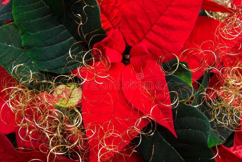 Λουλούδι Χριστουγέννων στοκ φωτογραφία