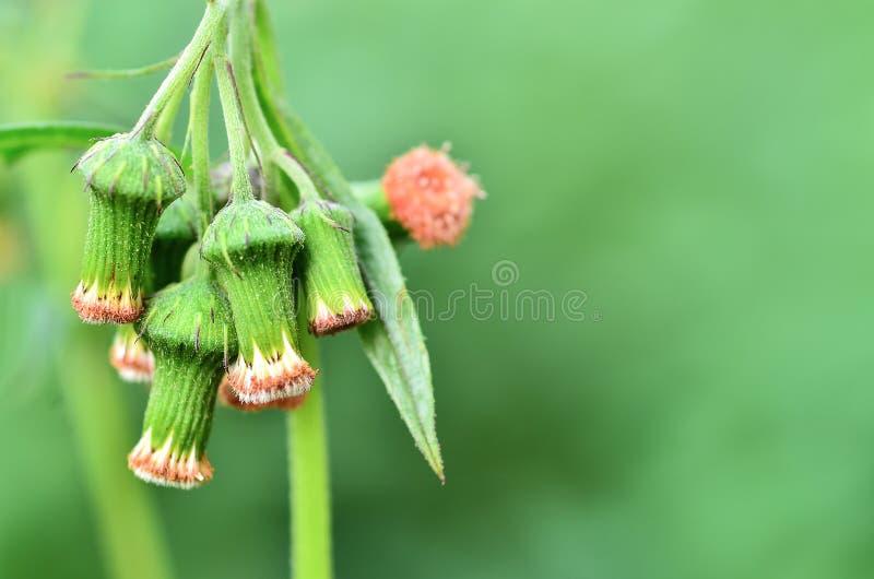 Λουλούδι χλόης οφθαλμών στον τομέα στοκ φωτογραφία με δικαίωμα ελεύθερης χρήσης