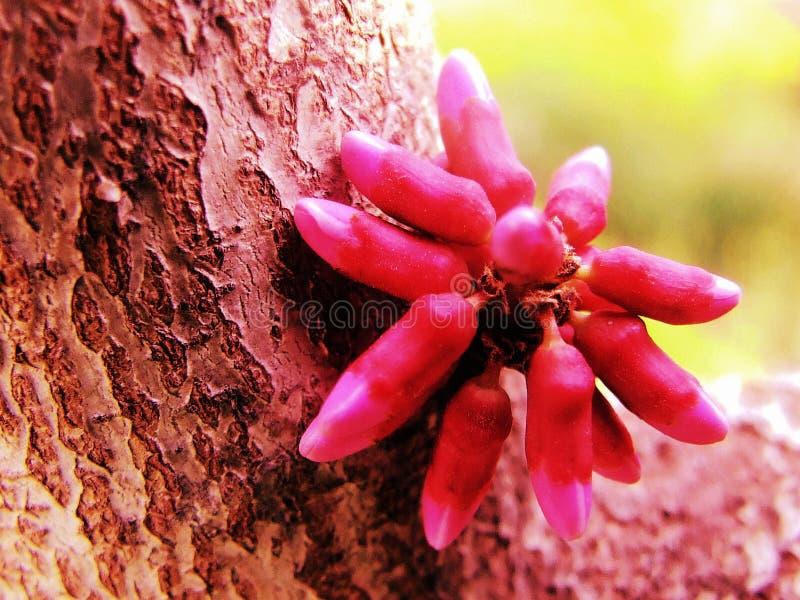 Λουλούδι, Bauhinia στοκ εικόνες με δικαίωμα ελεύθερης χρήσης