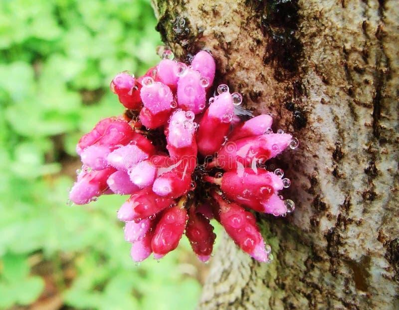 Λουλούδι, Bauhinia στοκ εικόνα
