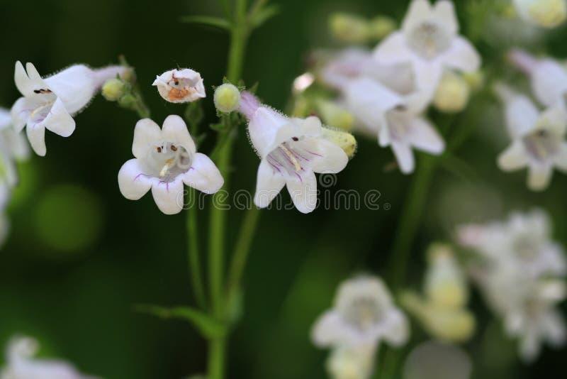 Λουλούδι Beardtongue Foxglove στοκ εικόνες με δικαίωμα ελεύθερης χρήσης