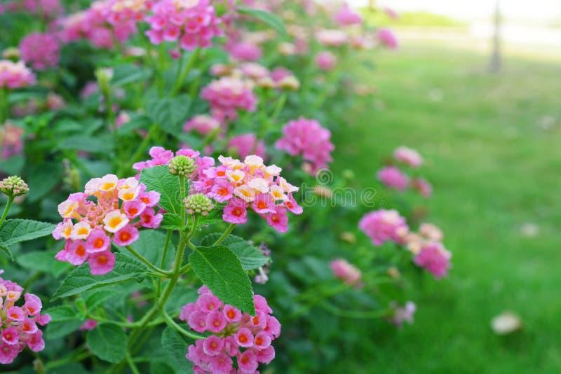 Λουλούδι Camara Lantana στοκ εικόνες