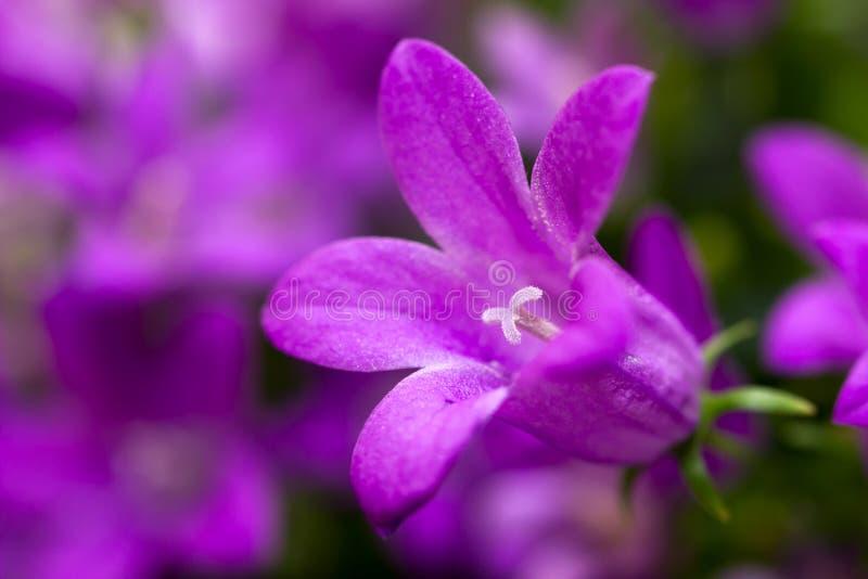 Λουλούδι Campanula στοκ φωτογραφίες με δικαίωμα ελεύθερης χρήσης