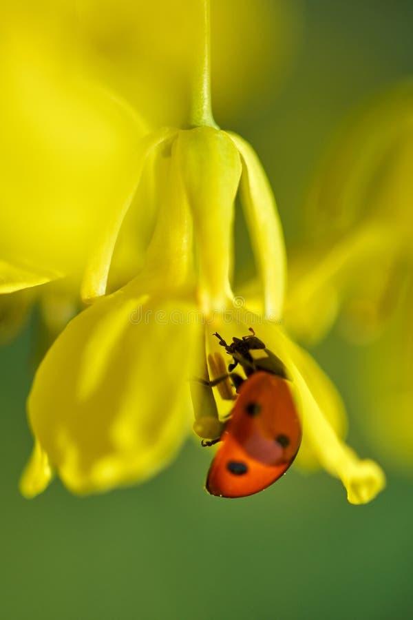 Λουλούδι canola επικονίασης Ladybug στοκ εικόνα